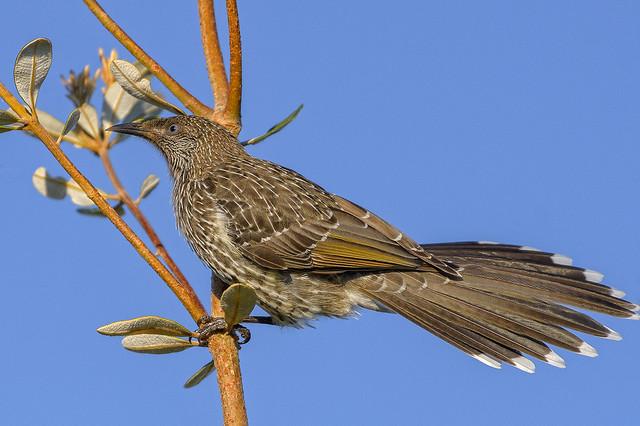 banksia beach - a little wattlebird