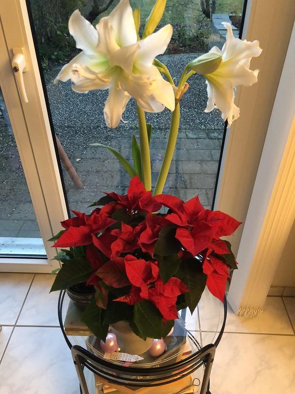 Amaryllis and Poinsettia