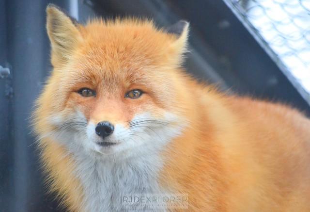 hokkaido itinerary asahiyama zoo fox