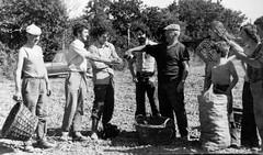 Eost ar patatez - Groaz Ru, Plouared - 1975