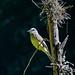 Tropical Kingbird - Suiriri - Tyrannus melancholicus by jvaladaofilho
