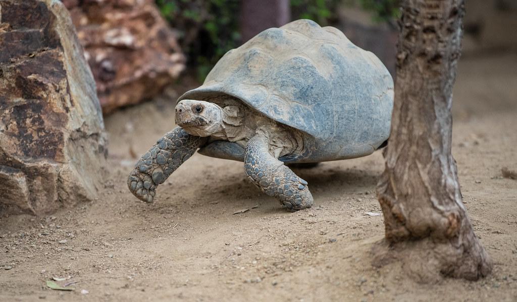 Southern Leopard Tortoise