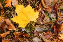 November - Maple leaf on a rainy day