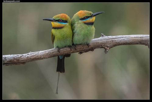 Rainbow Bee-eater: Pair bonding