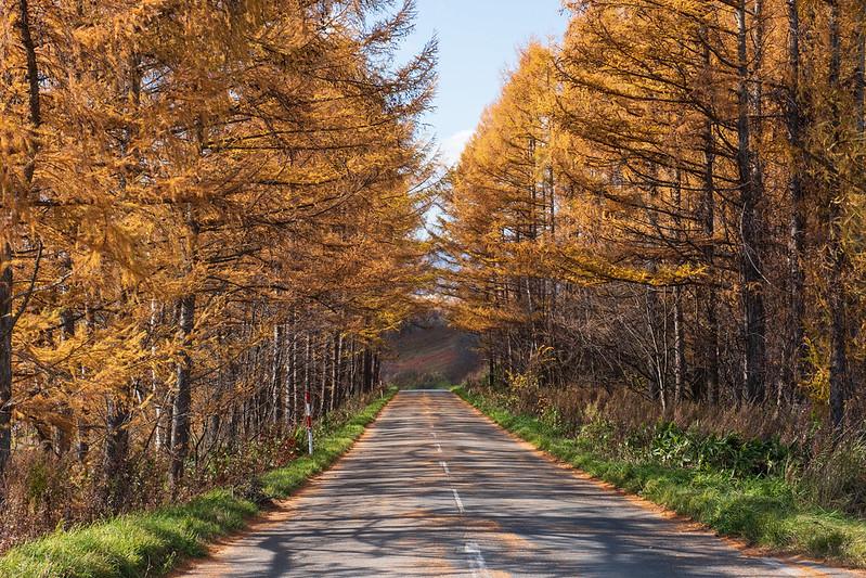 美瑛の紅葉したカラマツ林の小道