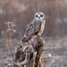 Short-eared Owl at Dusk by wmckenziephotography
