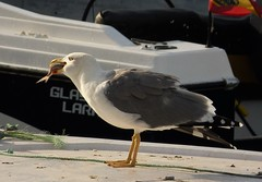 Opportunist Yellow-legged Gull. Larus cachinnans  ssp michahellis