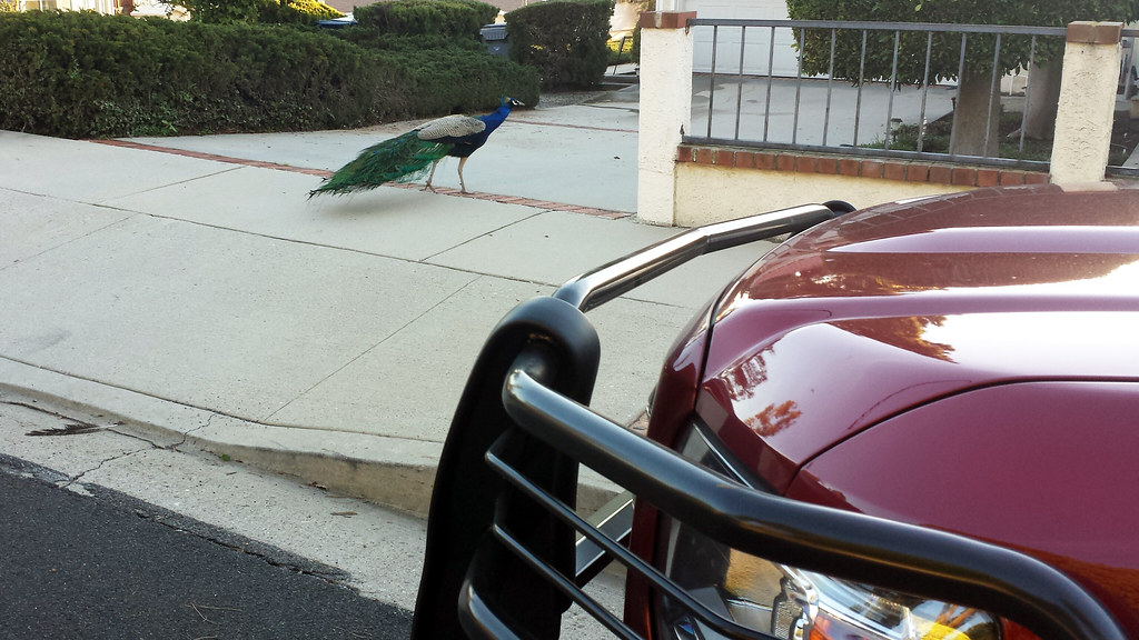 A random peacock walking down the sidewalk