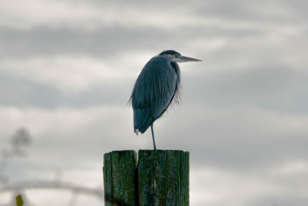 Heron (1 of 1)