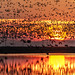 Geese at Sunset by Ted Holm