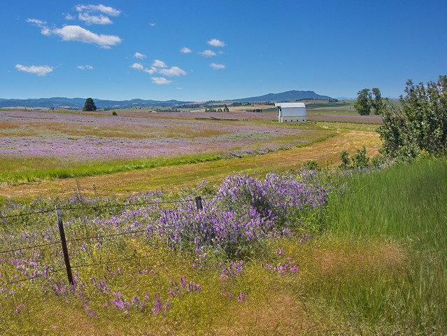 Field of Vetch and Barn 9444 D