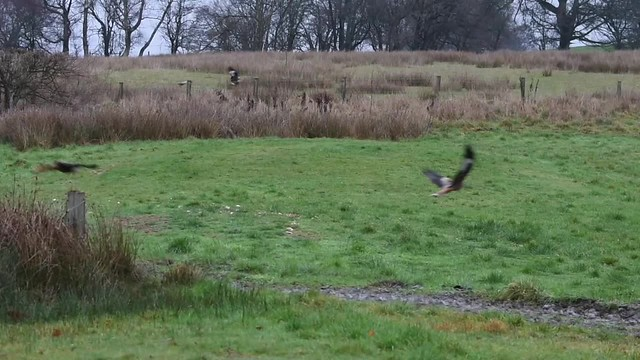Red kites at Gigrin