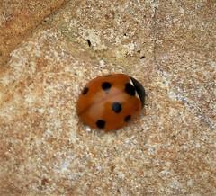 7 -spot ladybird