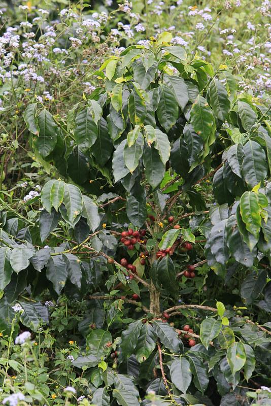 Cây cà phê Sarchimor Parainema ở  honduras (1)