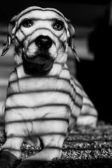 zebra   l  2018