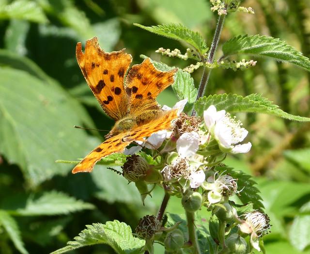 Comma butterfly on bramble along Fishchowter's Lane