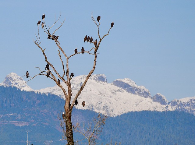 Eagle tree, Harrison River, Panasonic DMC-GF7, Lumix G X Vario PZ 45-175mm F4.0-5.6 Asph. Power OIS