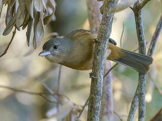 Little Shrike-thrush (Colluricincla megarhynca)
