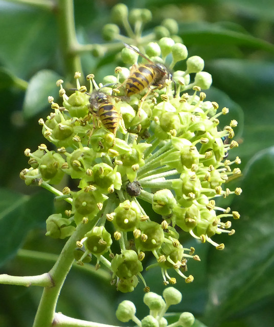 wasps on ivy flowers