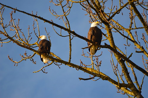 New Year's Eagles