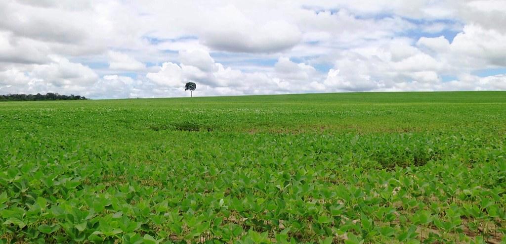 Chuvas antecipam plantio da soja em Santarém, Belterra e Mojuí; safra deve crescer 10%, Soja na RM de Santarém