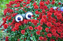 Googly-Eyed Chrysanthemums