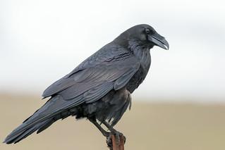 DSC_8638.jpg Common Raven, East Meadow, UC Santa Cruz