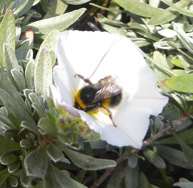 worker bumblebee on shrubby bindweed