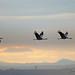 Grus grus Grue cendrée Common Crane Grulla Común Kranich by [ ͆ ◎] Bernard LIÉGEOIS