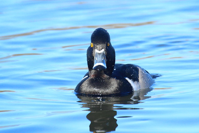 Ring-necked Duck, Canon EOS REBEL T3I, Canon EF 100-400mm f/4.5-5.6L IS