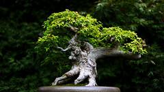 Trident maple, Prague Botanical Garden