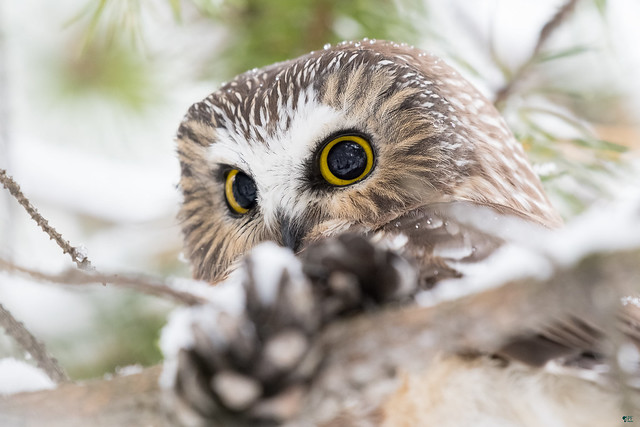 ''Cocotte!'' Petite nyctale-Northern saw-whet owl