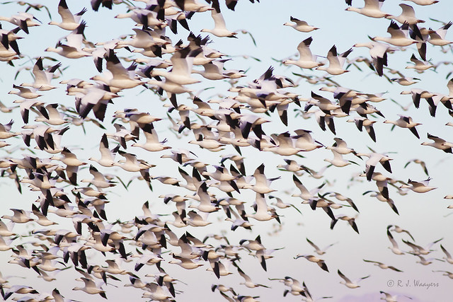 Snow Geese flock in, Canon EOS REBEL T1I, Canon EF 400mm f/5.6L