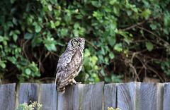 Spotted eagle owl Mufindi Highlands Tanzania