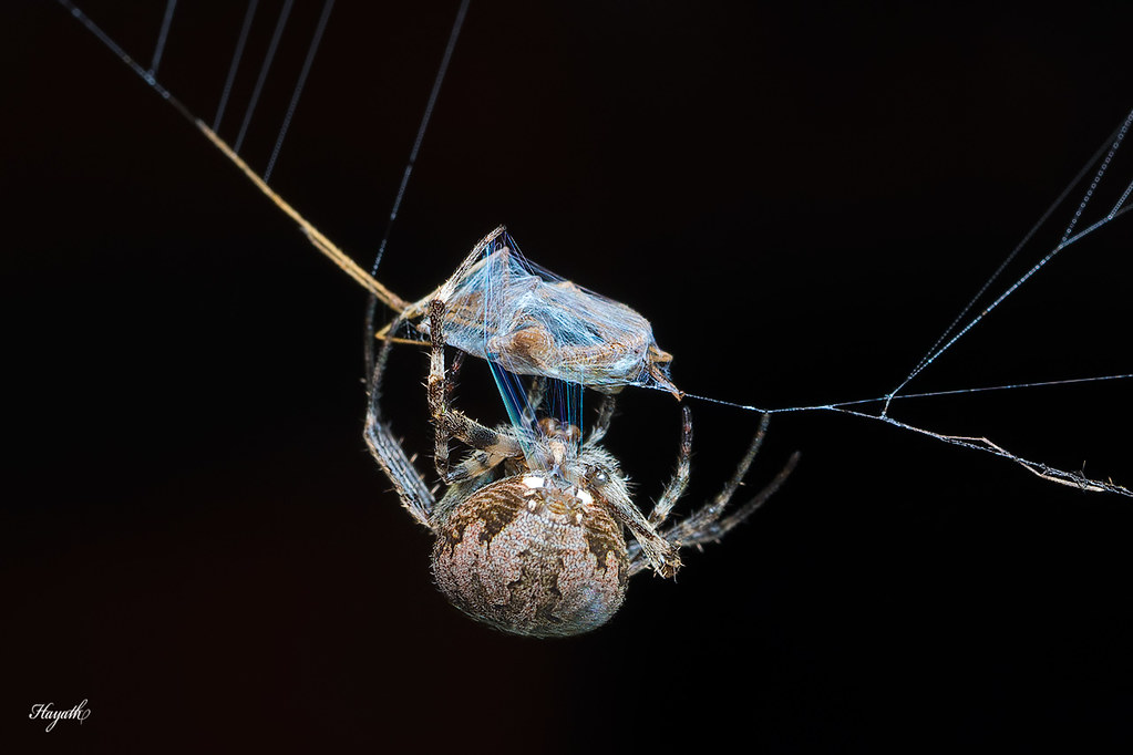 Wrapping prey in silk! A tiny orb weaver making short work