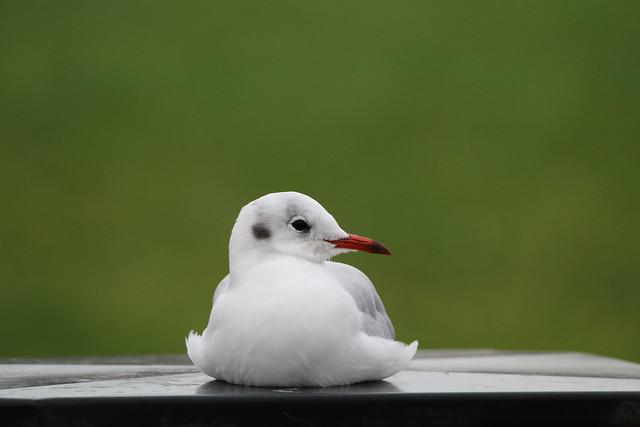 resting black headed gull-1