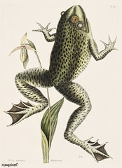 Bull Frog (Rana maxima) from The Natural History of Carolina, Florida, and the Bahama Islands (1754) by Mark Catesby (1683-1749).