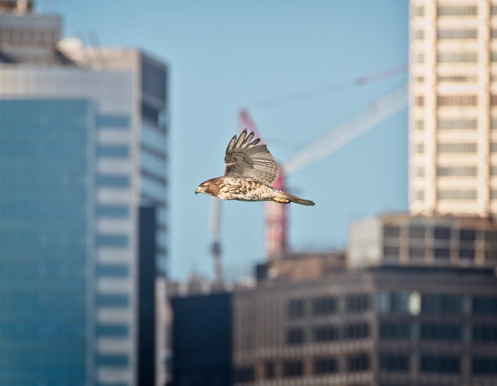 Red-tail flies past downtown Manhattan