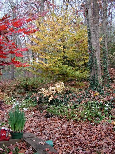 Carpinus betulus  vert 11 22 04