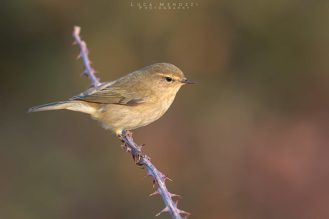 Common chiffchaff, Nikon D500, AF-S VR Nikkor 300mm f/2.8G IF-ED