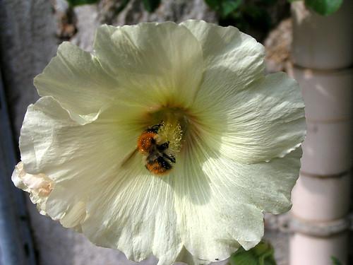 20080831 28826 1001 Jakobus Blüte Blume Biene weiß_01a
