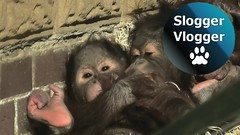 Orangutan Babies Try To Kiss Each Other Through The Door Flap