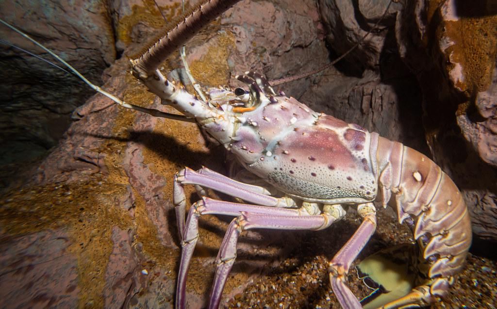 Lobster_5