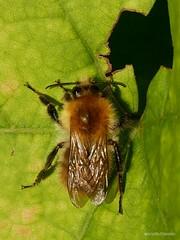 Osmia bicornis - Photo of Chassé