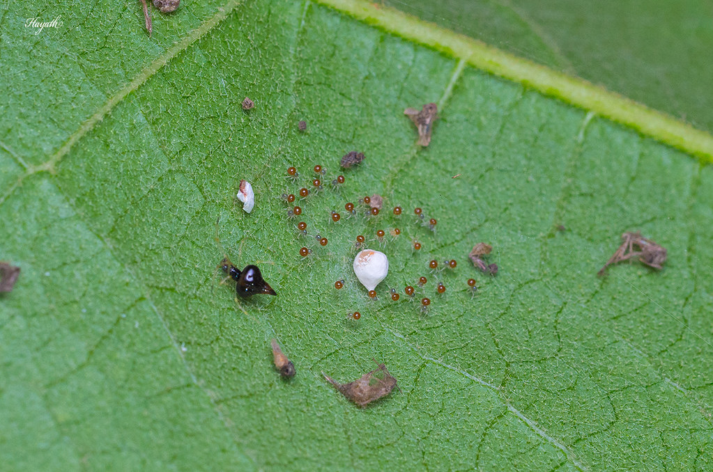 Chikunia spider with freshly hatched  spiderlings