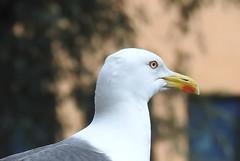 seagull (3)