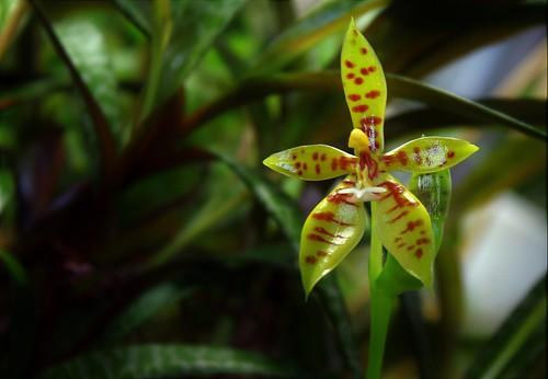 Phalaenopsis lamelligera (= Phalaenopsis cornu-cervi f. lamelligera) 45081414024_baff426d95