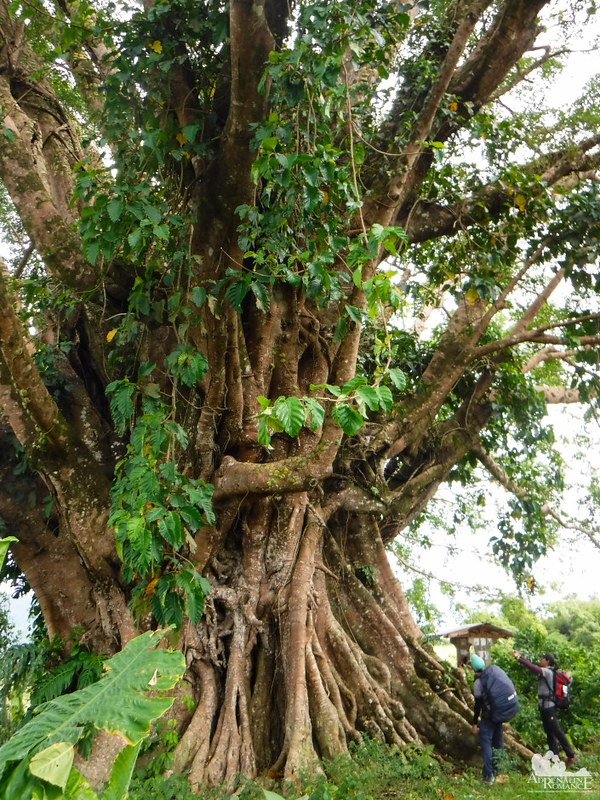 Huge Balete tree
