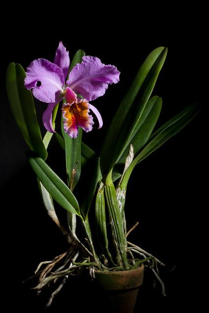 Photo:[Venezuela] Cattleya percivaliana fma. aurea 'Gabriela' (Rchb.f.) O'Brien Gard. Chron., n.s., 20: 404 (1883) By sunoochi