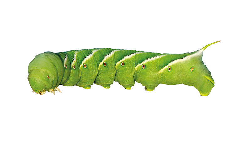 Manduca sexta caterpillar